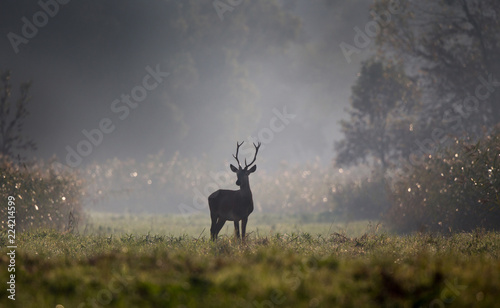 Leinwanddruck Bild Young red deer in forest on foggy morning