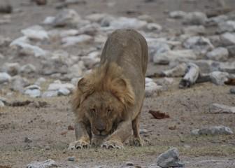 Löwen in Afrika