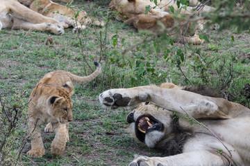 Male lion and cub (Panthera leo) taken in the Maasai Mara Reserve, Kenya