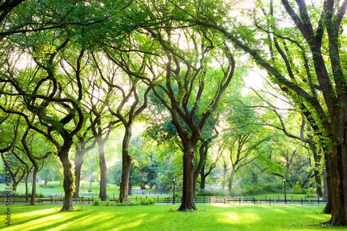 Sunbeams through American Elms in Central Park, New York