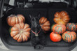 Black scotch terrier dog sitting in the open car trunk full of pumpkins