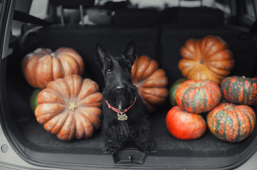 Black scotch terrier dog sitting in the open car trunk full of pumpkins © malamooshi
