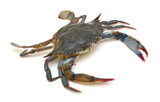 Blue Crab with white background - 224253989