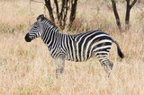 Beautiful zebra standing in the african savannah.