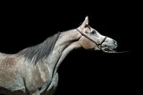 portrait of  gray purebred egyption arabian filly at black background - 224257389