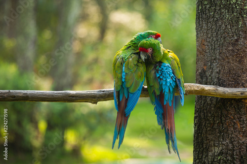 blue and yellow macaw - 224271598