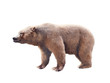 Brown bear on white background