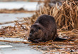 Beaver feeding on branches in winter