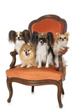 little dogs on armchair