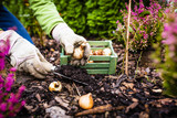 Autumn planting bulbs of flowers in the garden. - 224306707