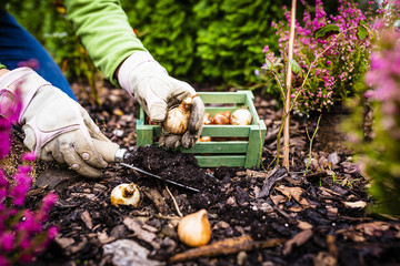 Autumn planting bulbs of flowers in the garden.