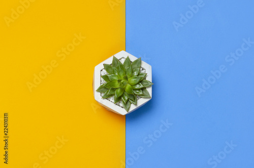 Beautiful green cactuses succulent isolated on bright yellow blue minimalistic background top view Flat Lay with copy space. Potted plant, flower, creative background © olgaarkhipenko
