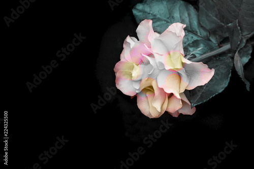 Luxurious original rose on a black background . - 224325500