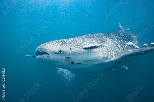 Fototapeta whale shark underwater in ocean, Indonesia