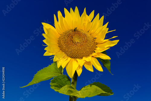 Single sunflower with a bee against deep blue sky.