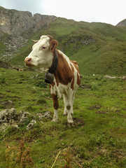 Some cows grazing on a mountain pasture in the high mountains.