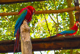 Macaws of different colors, located in an aviary for their conservation