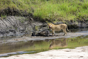 Lioness with a kill