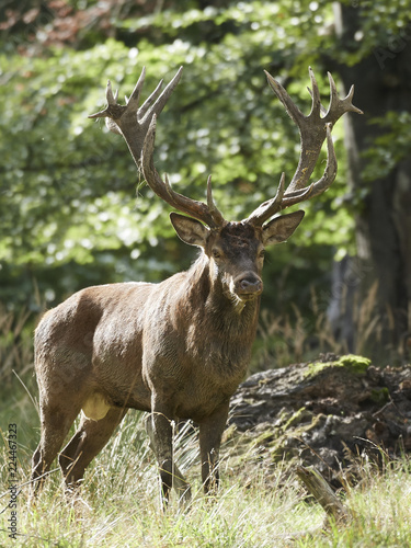 Red deer (Cervus elaphus) - 224467323