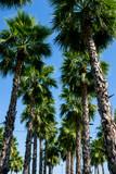 palm tree and blue sky - 224472916