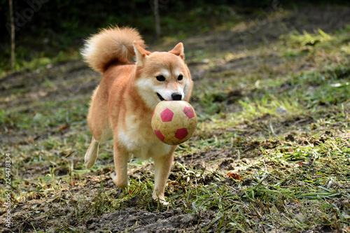 柴犬・ボール遊び - 224478334