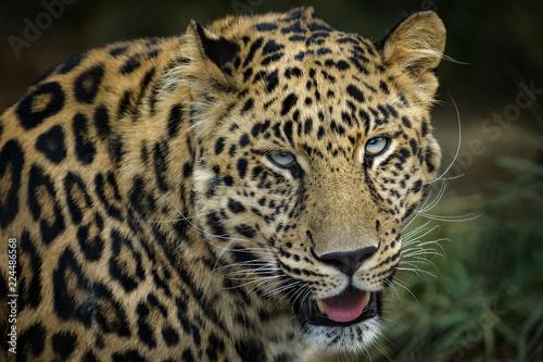Fototapeta Closeup portrait of a male african leopard