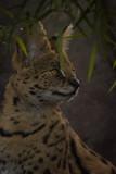 Closeup portrait of a Serval