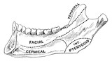Areas of Lower Jaw, vintage illustration. - 224488900