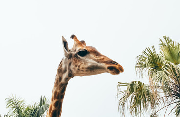giraffe head on a white background