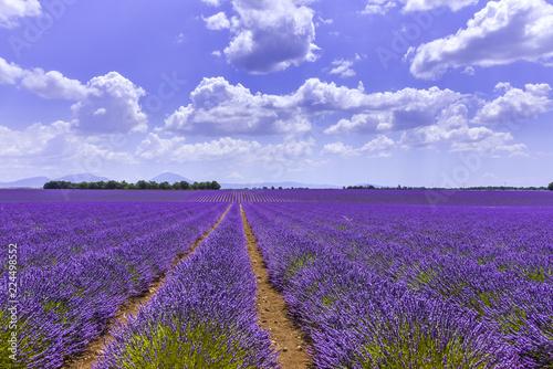 lavender fields reaching to the horizon near Valensole, Provence, France, department Alpes-de-Haute-Provence, region Provence-Alpes-Côte d'Azur