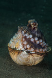 Coconut octopus (Amphioctopus marginatus) using seashell for shelter. Picture was taken in Lembeh Strait, Indonesia - 224499196