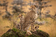 Quadro Cheetah and two cubs sit on mound