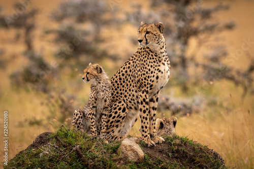 Cheetah and two cubs sit on mound