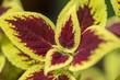 vinous-yellow leaves close-up - 224523105