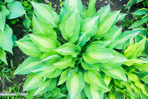 Beautiful leaves of hosta plant in the garden. Selective focus. - 224542550