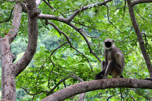 Fototapeta The black-faced Indian monkey sitting on a branch