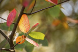 first autumn leaves in red and golden colors as a seasonal nature background with copy space - 224565321