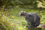 tabby cat looks out for mice in the high grass in the garden, copy space - 224566164