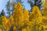 Aspens in the Tahoe National Forest - 224580547