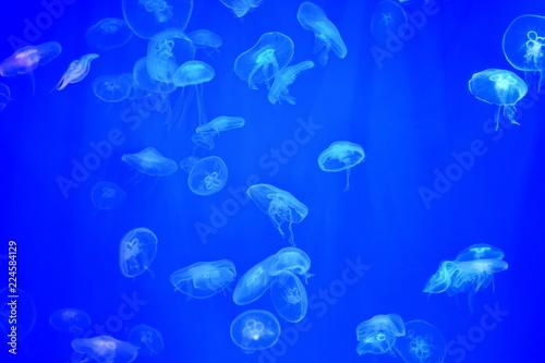 Fototapeta flock transparent jellyfish under water in aquarium on blue background in rays of light