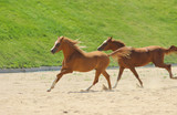 red thoroughbred horses of the Arabian breed run gallop, play,