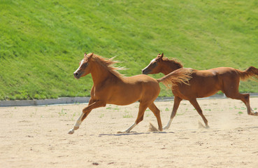 red thoroughbred horses of the Arabian breed run gallop, play, © Olena