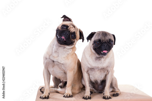 pug and puppy