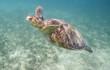 Sea turtle in Australia