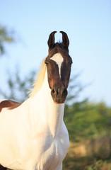 paint marwari mare portrait