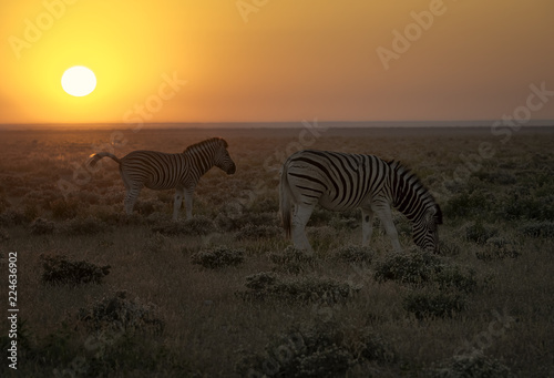Herd of zebra walk on the savannah in Namibia as the rising sun turns the entire landscape orange - 224636902