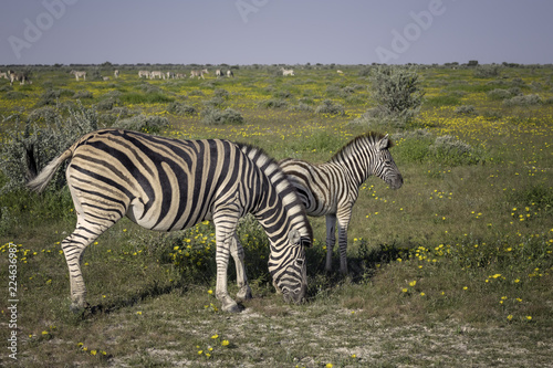 Mother zebra and young foal grazing on grassland in Namibia surrounded by yellow flowers and a large herd in the background - 224636987