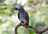 African Gray Parrot in the nature of the forest.