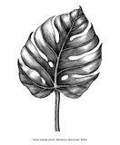 Monstera leaf hand draw vintage engraving clip art isolated on white background - 224651390
