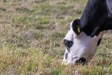 Kopf einer scharz weissen Kuh beim Grasen